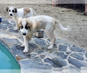 Medium Anatolian Shepherd-Maremma Sheepdog Mix