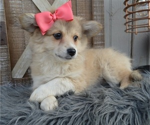 Border Collie-Pomeranian Mix Puppy for sale in HONEY BROOK, PA, USA