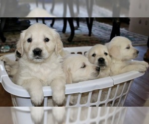 English Cream Golden Retriever Puppy for Sale in LAKEVILLE, Massachusetts USA