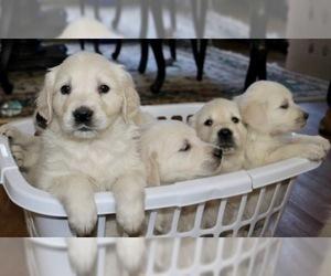 English Cream Golden Retriever  Puppy For Sale in LAKEVILLE, MA, USA