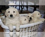 English Cream Golden Retriever  Puppy For Sale in LAKEVILLE, MA, USA