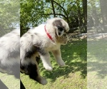 Small #10 Australian Shepherd-German Shepherd Dog Mix