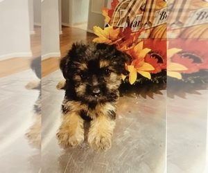 Shorkie Tzu Puppy for Sale in MOUNT CLEMENS, Michigan USA
