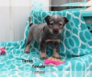 Australian Cattle Dog Puppy for Sale in CLARKRANGE, Tennessee USA