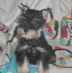 Schnauzer (Miniature) Puppy For Sale in HARTVILLE, MO, USA