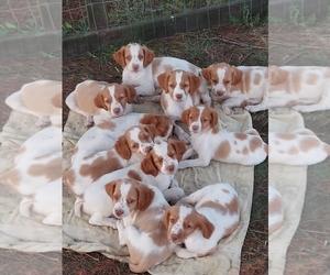 Spanish Pointer Puppy for sale in CATALPA, VA, USA