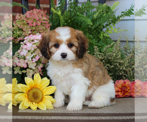 Cavachon Dog for Adoption in GORDONVILLE, Pennsylvania USA