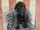 Labrador Retriever Puppy For Sale in PEACH BOTTOM, PA, USA