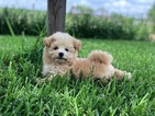 Havanese Puppy For Sale in HOUSTON, Texas,