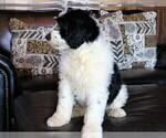 Small #15 Sheepadoodle
