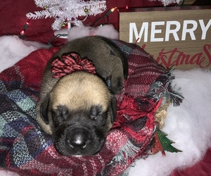 Mastiff Puppy for Sale in TITUSVILLE, Florida USA