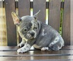 Small #1 French Bulldog