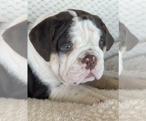 English Bulldog Puppy for sale in KEMP, TX, USA