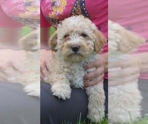 Labradoodle Puppy for Sale in SUNBURY, Pennsylvania USA