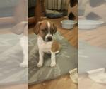 Puppy 3 Australian Shepherd-Beagle Mix