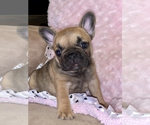 French Bulldog Puppy for Sale in LAKE HAVASU CITY, Arizona USA