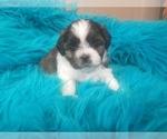 Puppy 4 Shih Tzu