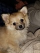 Chiranian Puppy For Sale in OSTRANDER, OH, USA