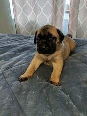 Mastiff Puppy For Sale in SOUTH HAVEN, MI, USA