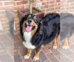 Small Photo #2 Australian Shepherd Puppy For Sale in OPELOUSAS, LA, USA