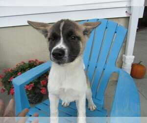 Akita Puppy for sale in S BEND, IN, USA