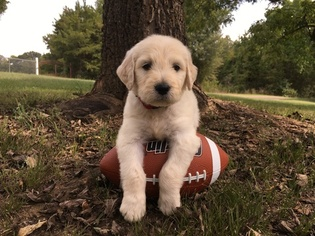 Goldendoodle Puppy For Sale in CONWAY, AR, USA