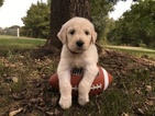 Goldendoodle Puppy For Sale in CONWAY, AR
