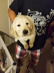 Golden Retriever Puppy For Sale near 77840, College Station, TX, USA