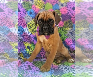 Boxer Puppy for sale in STEVENS, PA, USA