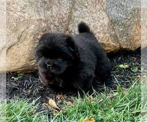 Chow Chow Puppy for Sale in NAPPANEE, Indiana USA