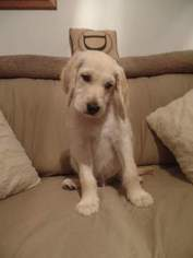 Goldendoodle Puppy For Sale in CLINTON, OH