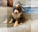 Puppy 5 Bernedoodle-Poodle (Standard) Mix