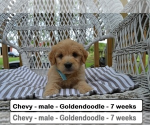 Goldendoodle Dog for Adoption in CLARKRANGE, Tennessee USA