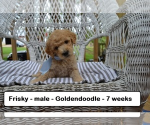 Goldendoodle Puppy for sale in CLARKRANGE, TN, USA