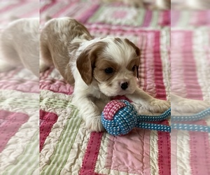 Cavalier King Charles Spaniel Puppy for sale in MONTECITO, CA, USA