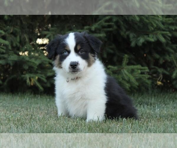 Medium Photo #4 Australian Shepherd Puppy For Sale in CARMEL, IN, USA