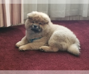 Chow Chow Puppy for sale in DELAND, FL, USA