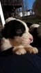 Puppy 5 Old English Sheepdog