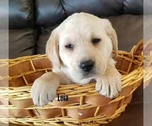 Labrador Retriever Dog for Adoption in CATO, New York USA