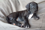Great Dane Puppy For Sale in FORT WORTH, TX