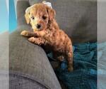 Puppy 1 Cavapoo