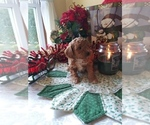 Puppy 1 Cavapoo-Poodle (Miniature) Mix