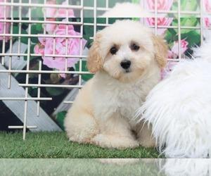Poochon Dog for Adoption in MARIETTA, Georgia USA