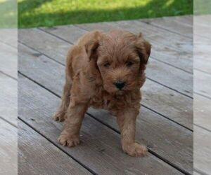 Goldendoodle (Miniature) Puppy for sale in STANLEY, WI, USA