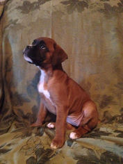 Boxer Puppy For Sale in CHAMBERSBURG, PA