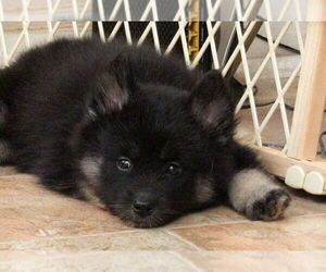 Pomsky Puppy for sale in SEBRING, FL, USA