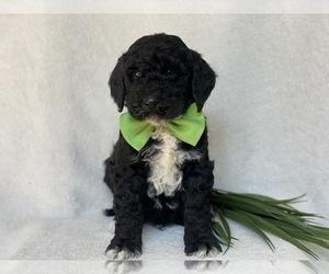 Double Doodle Puppy for Sale in CEDAR LANE, Pennsylvania USA