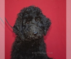 Goldendoodle Puppy for sale in WIMBERLEY, TX, USA