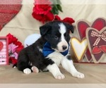 Small Photo #2 Border Sheepdog Puppy For Sale in LANCASTER, PA, USA