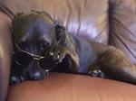 Chow Chow-Mastiff Mix Dog For Adoption in MACOMB, MI, USA